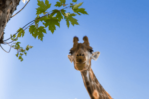 Giraffe smiling, Value